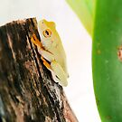 Litoria xanthomera, Orange-thighed Frog by elsha