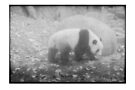 Panda, Adelaide zoo by Soxy Fleming