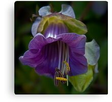 Cup-and-saucer Vine Canvas Print