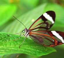 Open Wings Glasswing - Greta Oto by Lepidoptera