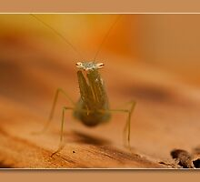 baby mantis by kevin chippindall