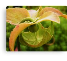 Hint of peach Canvas Print