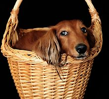 Present dog in a basket with blue ribbon by Kingsfairy