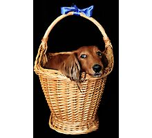 Present dog in a basket with blue ribbon Photographic Print