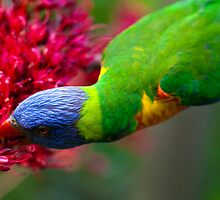 Rainbow lorikeet drinking nectar  by Adriano Carrideo