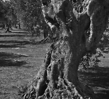The Olive Tree - Can You See the Kids Climbing It? - Puglia Italy by Debbie Pinard