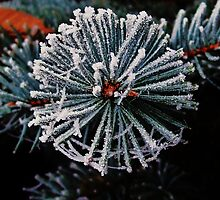 Winter for the Blue Spruce by trueblvr