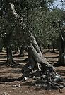 Olive Tree - Puglia Italy by Debbie Pinard