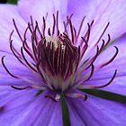 Purple Clematis by Usha Ganesh