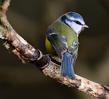 Blue tit, The Rower, County Kilkenny, Ireland by Andrew Jones