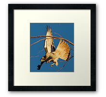 112010 Red Tailed Hawk Framed Print