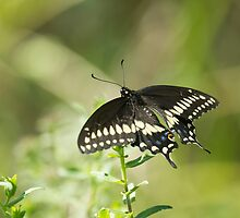 Black Swallowtail by EugeJ