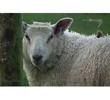 looking sheepish Photographic Print