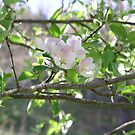 apple blossoms by lawsc