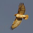 1120101 Red Tailed Hawk by Marvin Collins