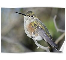 Rufous Hummingbird – Female Poster