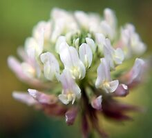 Clover Color by Susan Nixon