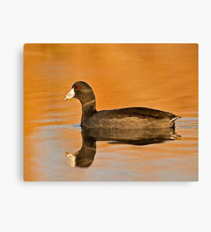 An American Coot  Canvas Print