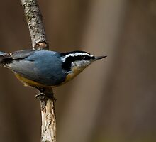 Red Breasted Nuthatches  by Gashphotography