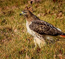 Regal Red Tail by John Absher