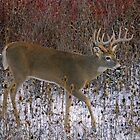 Thistle buck by Rodney55