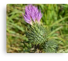 Thistle Plant Canvas Print