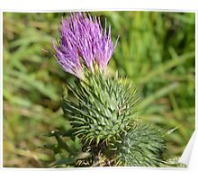 Thistle Plant Poster