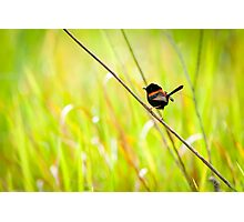 Red-Backed Fairy Wren Photographic Print
