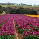 tulips give way to eucalypts by mellychan