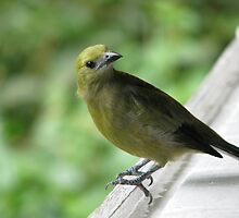 Palm tanager by hummingbirds