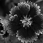Black and White Flower by Cheryl Sterkenburg