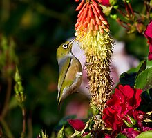 Silver Eye on a Red Hot Poker by Chris Cobern