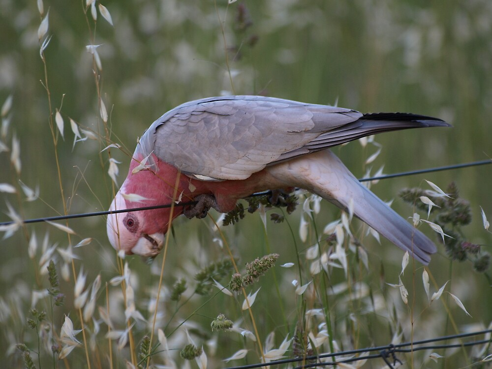 One Happy Galah. by shortshooter-Al