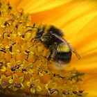 Bee on Sunflower by lezvee
