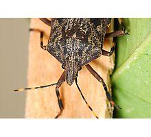 Bark Stink Bug Photographic Print