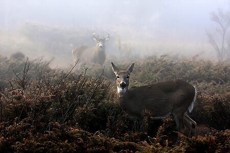 The rut is on! - White-tailed Deer