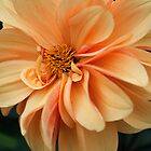 Dahlia Blossom by David Workman