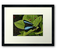 Morpho Butterfly on Leaves Framed Print