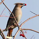 Waxwing by Richard Bond
