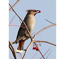Waxwing Photographic Print