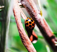 Ladybug #1 of 3 by JoBling