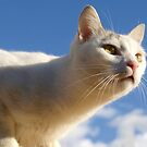 Gato blanco by Blanchi-photos
