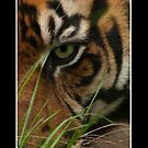 Eye of the Tiger by awsphotography