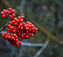 Clinging to summer - rowan berries by Dan Florence