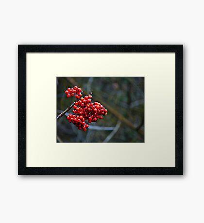 Clinging to summer - rowan berries Framed Print