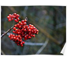 Clinging to summer - rowan berries Poster