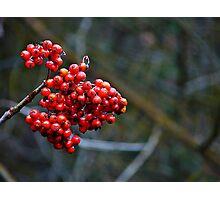 Clinging to summer - rowan berries Photographic Print