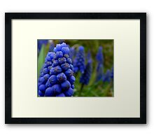 Blossoms as fruit - bunches of grape hyacinth Framed Print