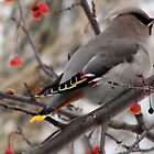 Pretty Bird  Bohemian Waxwing  by Rose Gallik