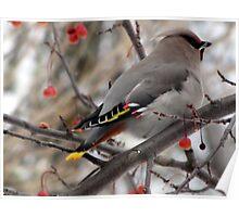 Pretty Bird  Bohemian Waxwing  Poster